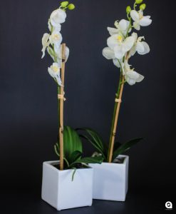 White orchids in small square ceramic vases - 50cm
