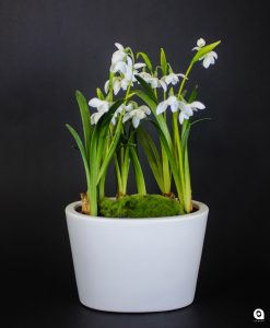White Snowdrops in small white vase  - 40cm