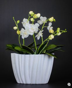 White Orchids in small white ribbed vase - 43cm