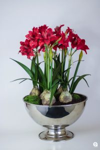 Red Amaryllis with bulbs in raised silver vase - 51cm