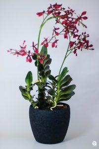 Red Arthium in round black vase - 63cm