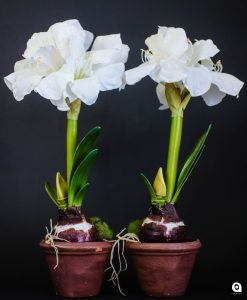 White small Amaryllis in clay pot - 53cm