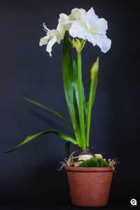 White tall Amaryllis in clay pot