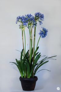 Blue Agapantha tall in x 2 clay pots - 110cm